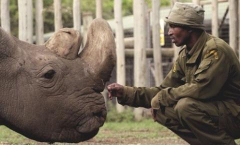 Espécie de rinoceronte que só tem mais dois animais pode ser salva da extinção por fertilização in vitro.