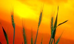 Produtor de cevada comemora colheita, qualidade e preço