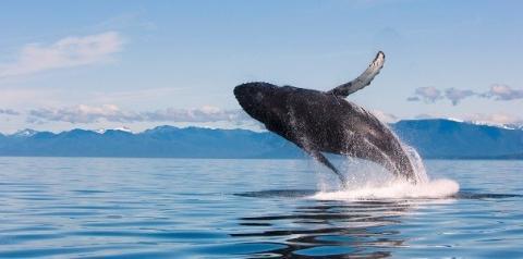 Dezenas de baleias jubarte se aproximam do litoral de SP e intrigam ambientalistas