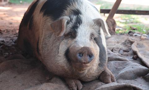 Mulher cria porco no centro da cidade e é agredida pela vizinha
