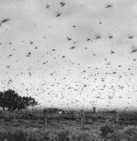 Nuvem de gafanhotos vai à região argentina próxima do Brasil pela 1ª vez em 73 anos